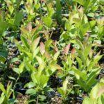 ブルーベリーの葉の写真