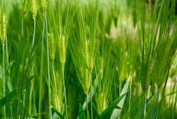 大麦若葉のイメージ写真