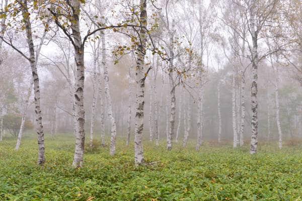 シラカバ樹皮エキスのイメージ写真